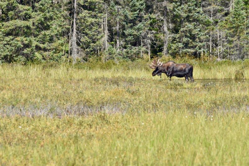 Stier-Elche, die im Profil in Algonquin ` s Sumpfgebieten stehen lizenzfreie stockfotos