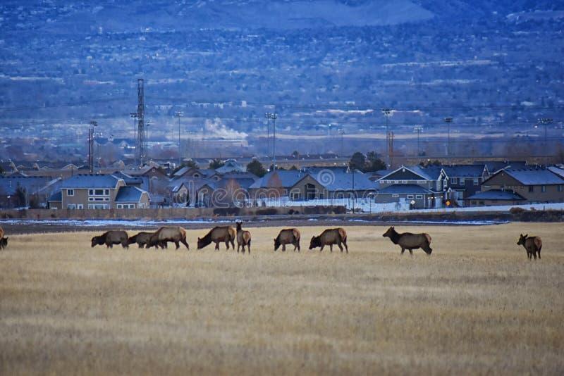 Stier-Elche sein Herdenharem auf der Baccus-Landstraße der Westside mit Ansicht von Salt Lake-Tal und von Wasatch Front Rocky Mou stockfotografie