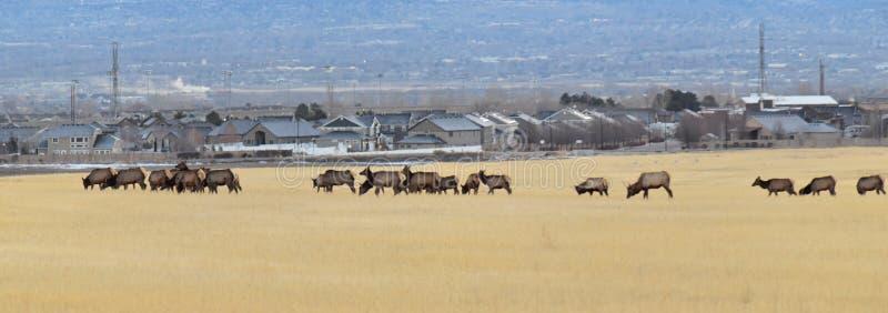 Stier-Elche sein Herdenharem auf der Baccus-Landstraße der Westside mit Ansicht von Salt Lake-Tal und von Wasatch Front Rocky Mou stockbild