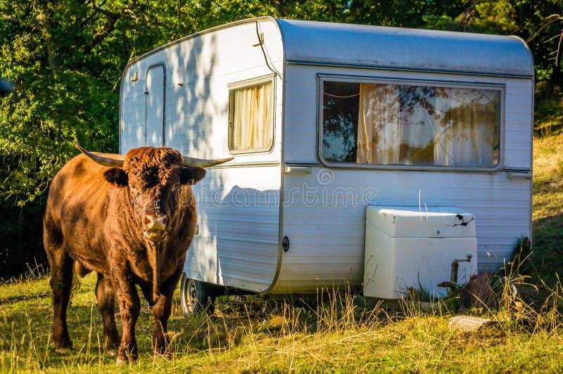 Stier en het kamperen caravan stock afbeelding