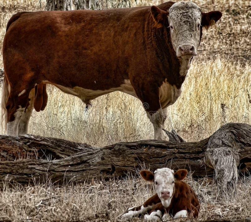 Stier en Kalf royalty-vrije stock afbeelding
