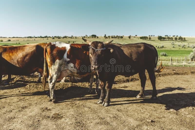 Stier en koe op de achtergrond van landelijke gebieden Leidt en beschermt zijn troep Veelandbouwbedrijf De vleesindustrie stock fotografie