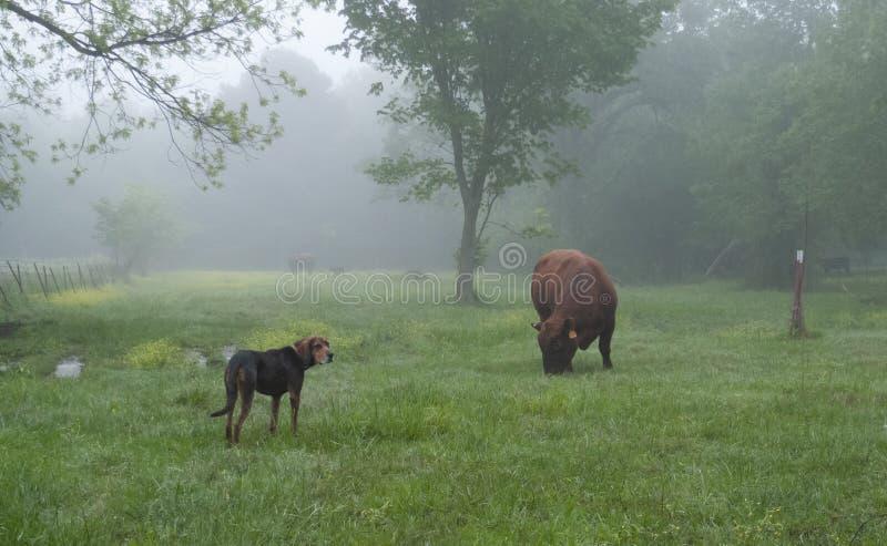 Stier en landbouwbedrijfhond in een mistig de lenteweiland stock foto's