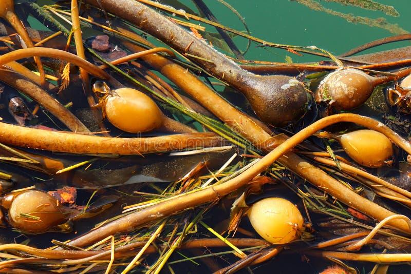 Stier-Kelp an der Winter-Bucht, Saturna-Insel, Britisch-Columbia stockbilder