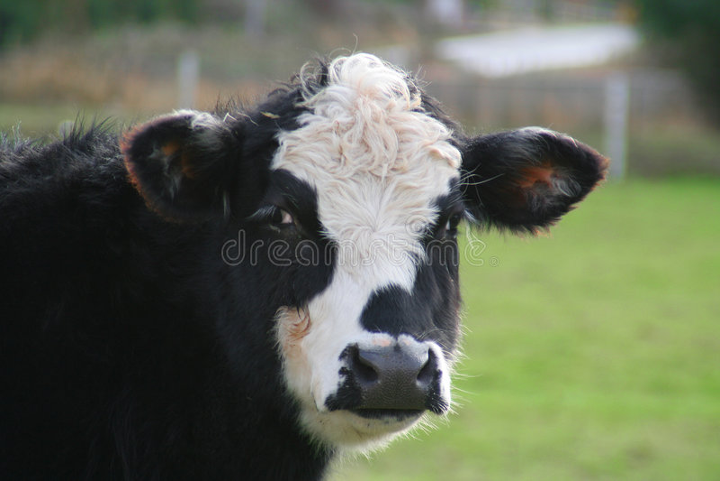 Stier of koe? royalty-vrije stock foto
