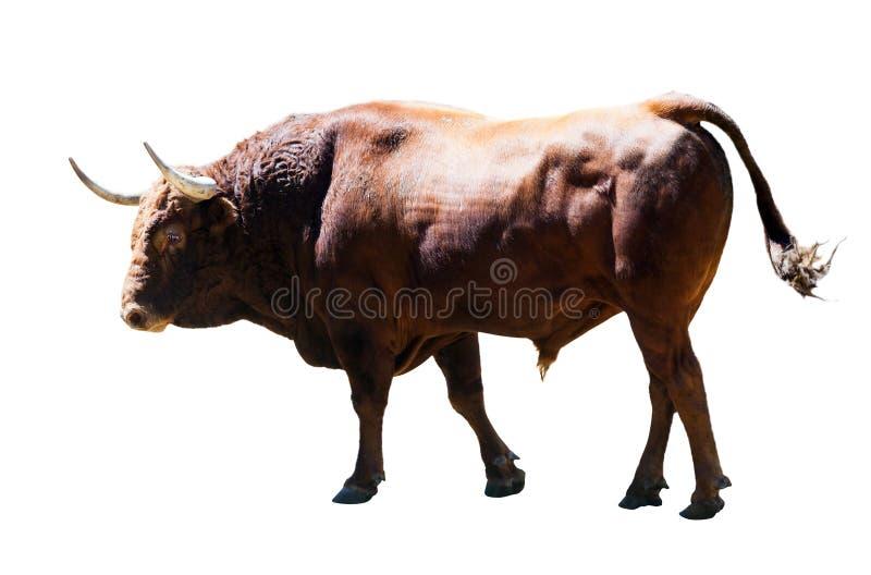 Stier, over wit wordt geïsoleerd dat stock fotografie