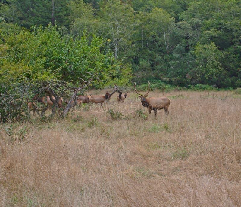 Stier Roosevelt Elk met gras op hoofd royalty-vrije stock foto