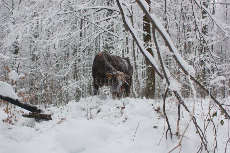 Stier in sneeuw stock foto