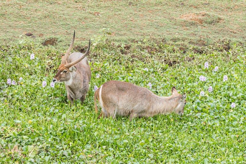 Stier und Kuh Waterbuck in einem Teich mit Wasserhyazinthe lizenzfreie stockfotografie