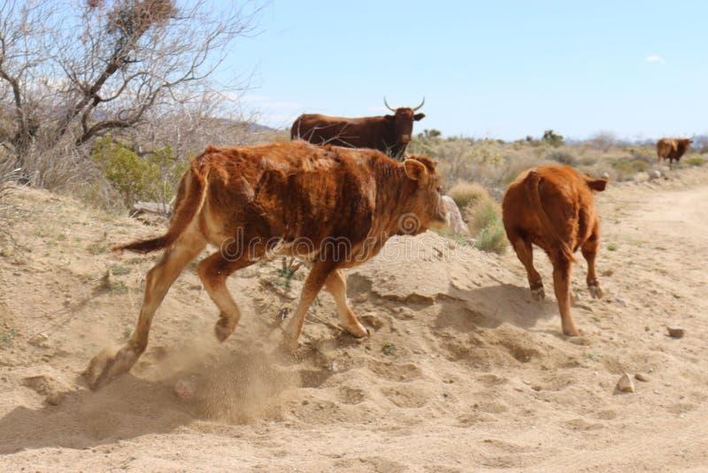 Stiere, die in Mohavewüste laufen stockbild