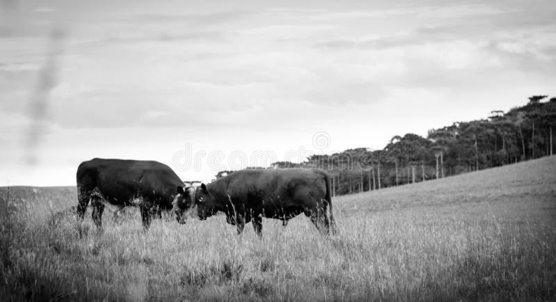Stiere Fighting Kopf-an-Kopf- stockbild