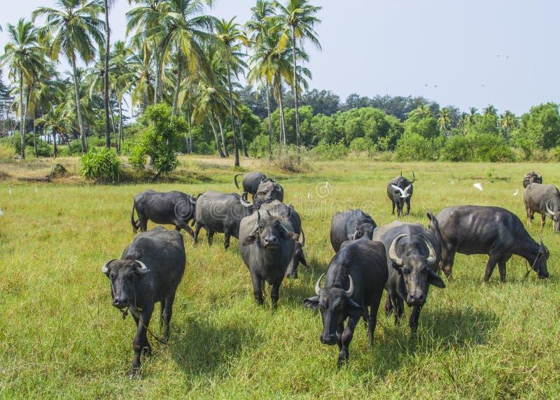 Stieren dierlijk weiland royalty-vrije stock afbeelding