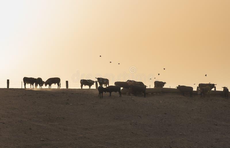 Stieren op een landbouwbedrijf stock afbeelding