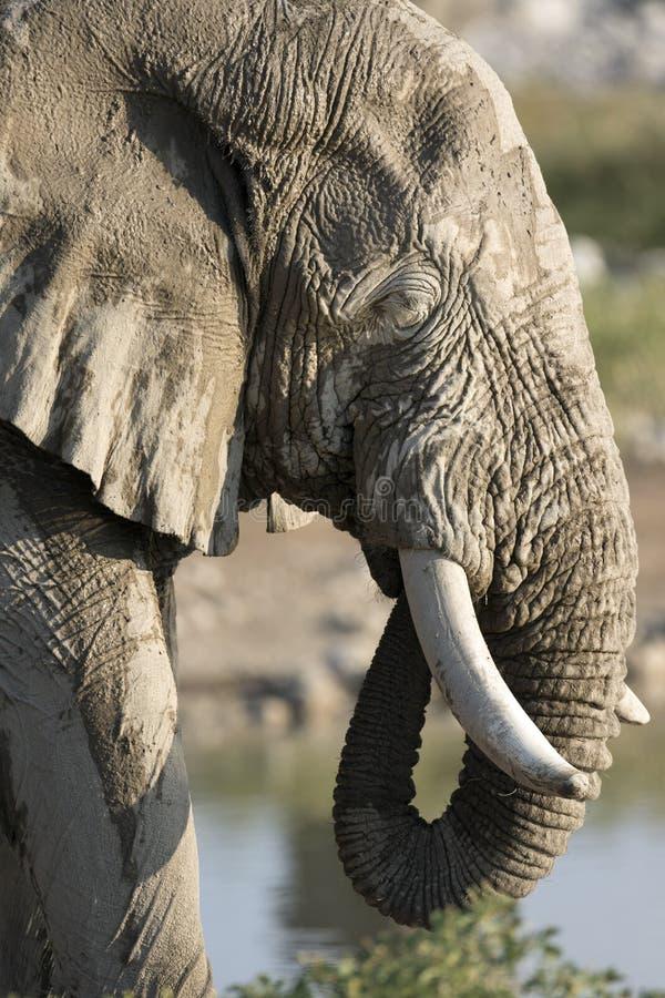 Stierenolifant royalty-vrije stock afbeelding