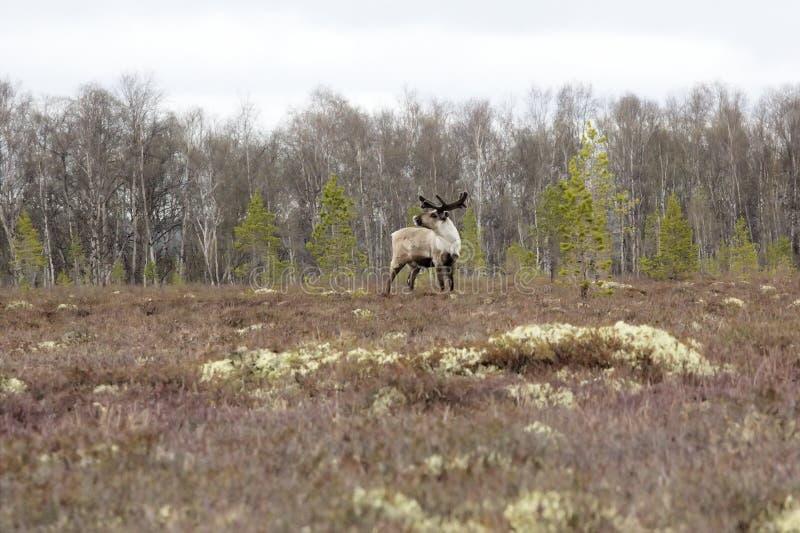 Stierenrendier: leider van de verschijning van kuddecontroles van roofdieren en mensen stock foto's