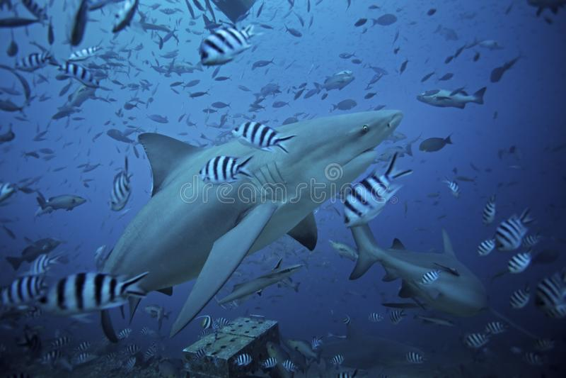 Stierhaifisch, Carcharhinus leucas, Beqa-Lagune, Fidschi lizenzfreie stockfotografie