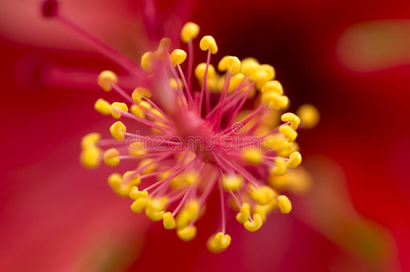 Stigma av blomman royaltyfria bilder
