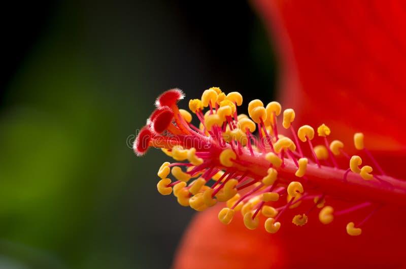 Stigma av blomman arkivbilder