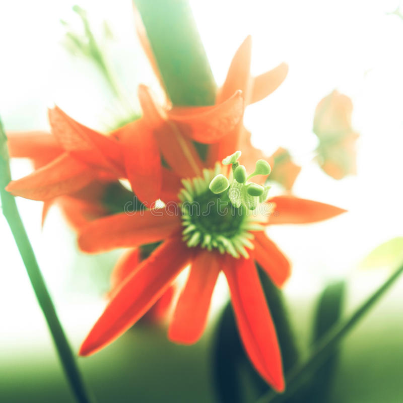 Stigma closeup of Passiflora racemosa. Stigma closeup of Red passiflora (Passiflora racemosa) in a daylight stock photo