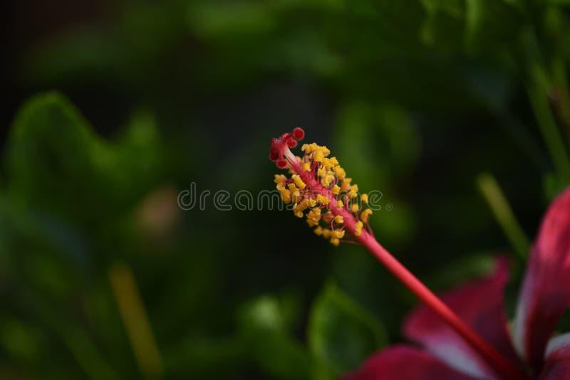 Stigma och nål av den röda hibiskusblomman arkivbild