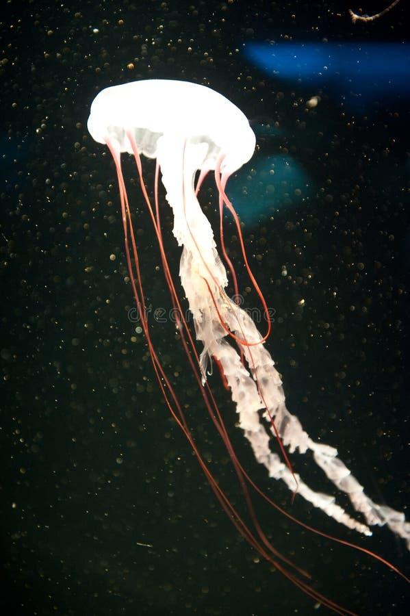 Stijft op, zet op gelei, of Jelly Fish, Overzeese Netels is koel! Aat Aquarium van de Stille Oceaan in Long Beach royalty-vrije stock afbeelding