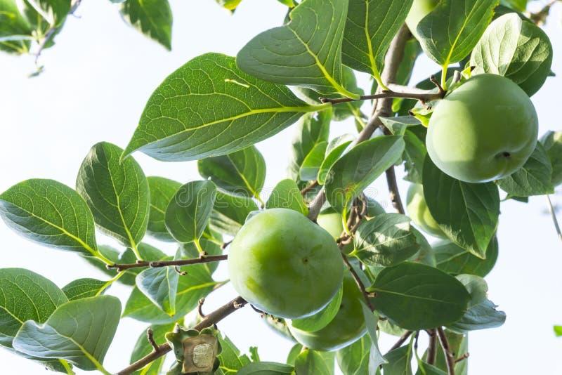Stijgende mening, bossen van groene ruwe Dadelpruim om vruchten en groene bladeren onder blauwe hemel, kown als Diospyros-eetbaar royalty-vrije stock foto