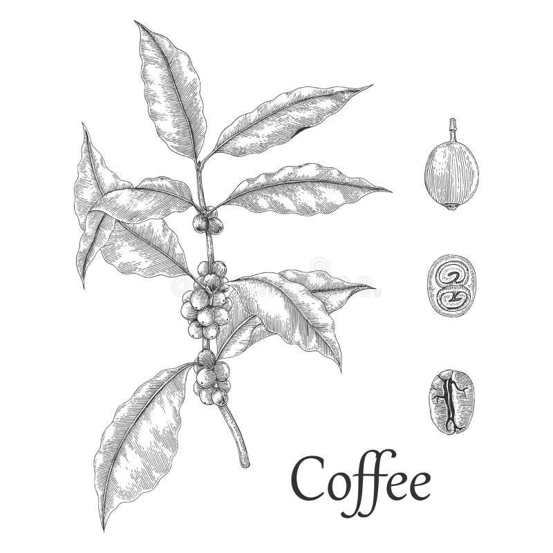 Stil för gravyr för teckning för hand för kaffeträd royaltyfri illustrationer