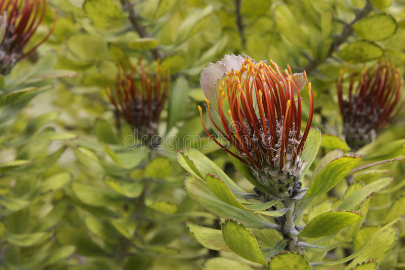 Stilbay Pincushion protea Leucospermum royalty free stock image