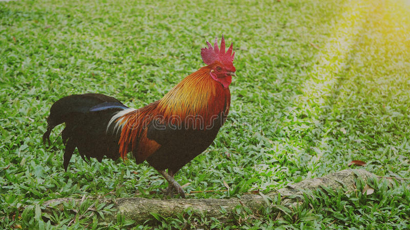 Stile d'annata di immagine sul bello pollo dell'immagine nel giardino della natura fotografia stock
