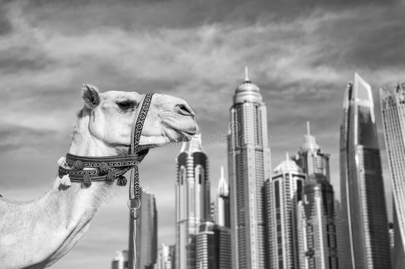 Stile della spiaggia del porticciolo JBR dei UAE Dubai: cammelli e grattacieli fotografia stock