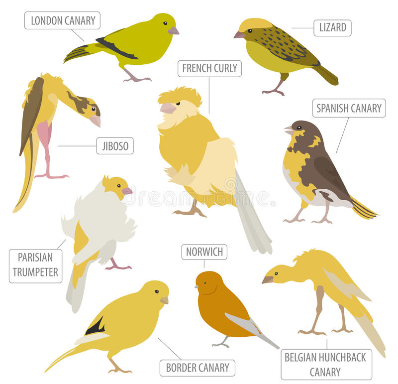 Stile piano stabilito dell 39 icona delle razze del canarino for Piano di abbozzo domestico