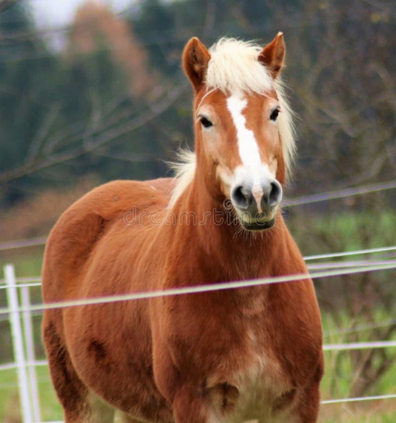 Stilfull häst som framme poserar av kamera arkivfoton