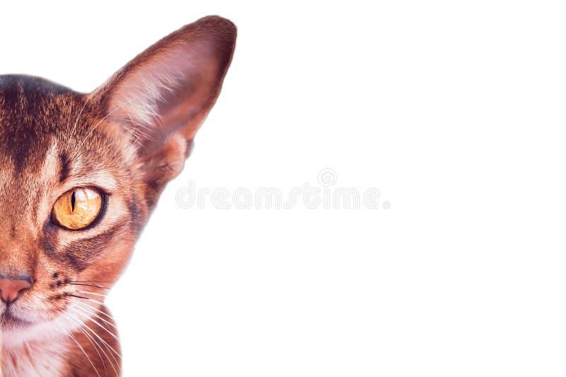 Stilfulla kattst?ende som isoleras p? vit, bakgrund, utrymme f?r text, Abyssinian katt royaltyfri bild