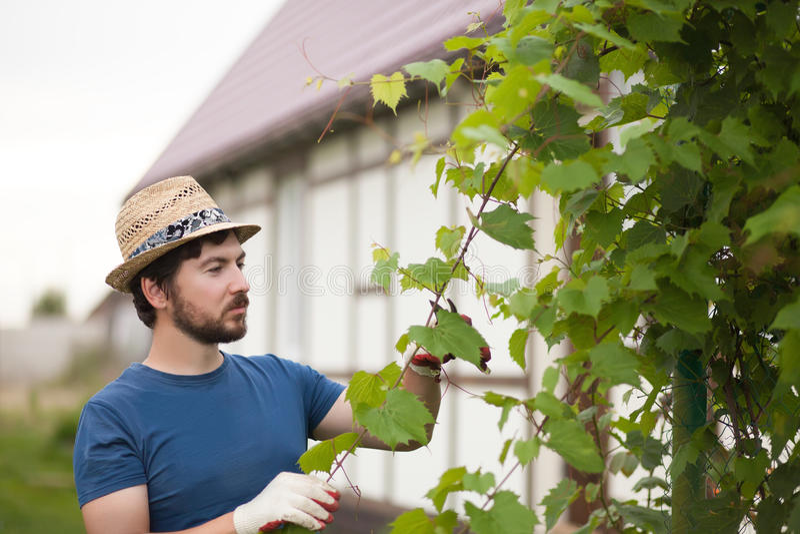 Stilig bonde som arbetar på trädgården som beskär druvaväxten arkivfoton