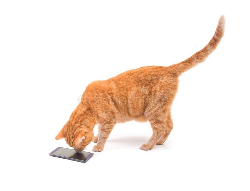 Stilig ljust rödbrun strimmig kattkatt som tar en djup syn på en smart telefon royaltyfria bilder
