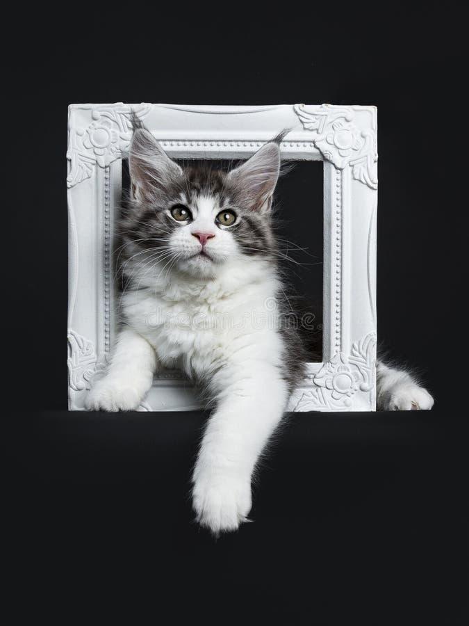Stilig svart strimmig katt med vita Maine Coon fotografering för bildbyråer