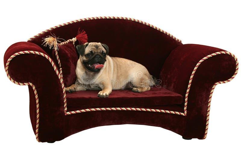 Stiligt ligger en mops på en soffa royaltyfria bilder
