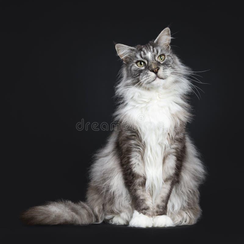 Stiligt vuxet sammanträde för pensionärMaine Coon katt som vänder mot framdelen som isoleras på svart bakgrund med bredvid kroppe arkivfoton