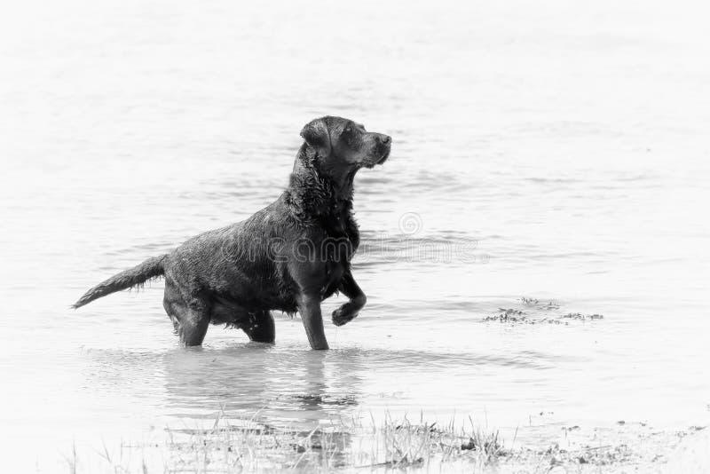 Stiliserad svartvit bild av en labradorvapenhund i vatten royaltyfri foto