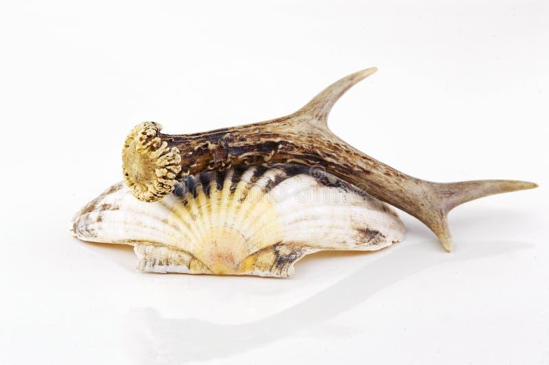 Download Still life stock photo. Image of bock, horn, still, antler - 25237086