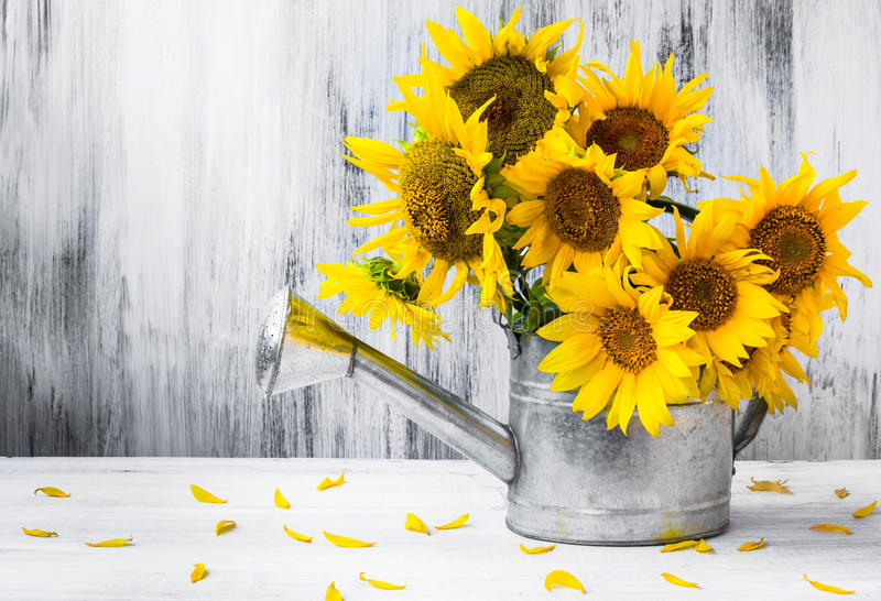Still life bouquet sunflowers watering can stock image