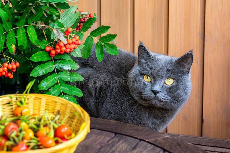 Still-life with cat and autumn berries royalty free stock photo