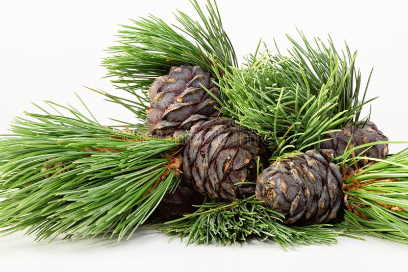 Still life with cedar cones and green pine branches. stock photography