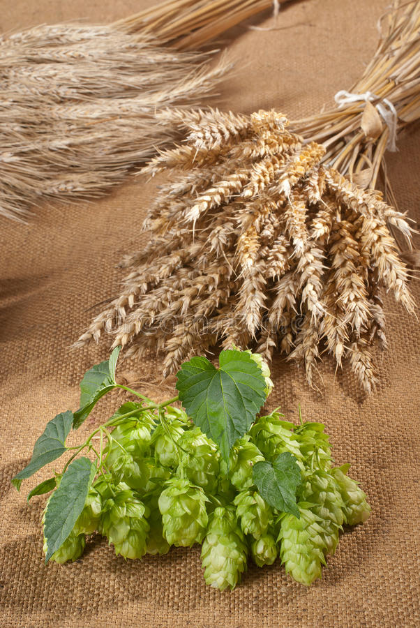 Download Still life with hop cones stock photo. Image of crop - 26553884