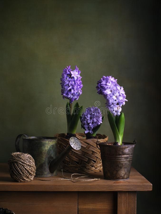 Still life with hyacinths royalty free stock image