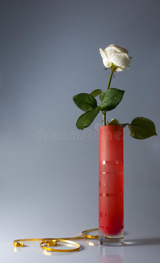 Download Still Life With One White Rose Stock Photo - Image: 12464382