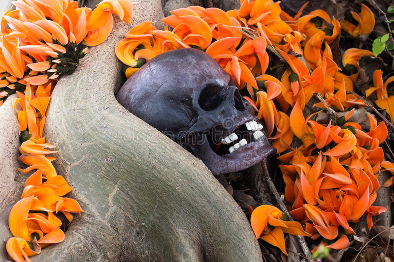 Still life photography, skull on Flame Of The Forest. At bottom of big Bodhi tree ( Bodhi or pho tree is symbols of Buddhism stock image