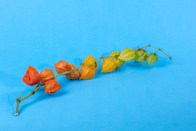 Still life with physalis branch on a blue background royalty free stock images