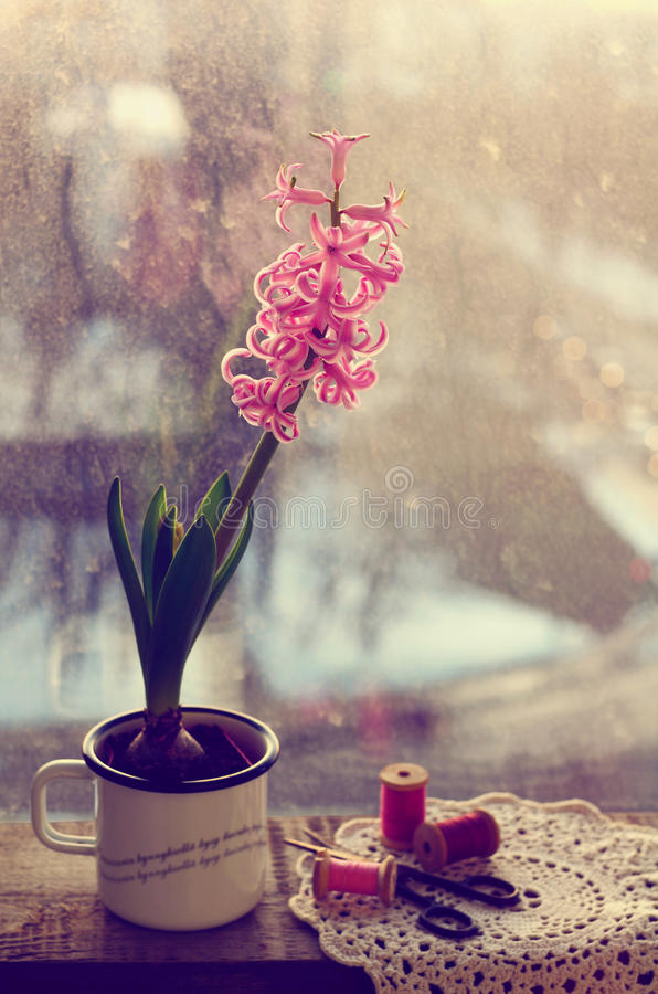 Still life with pink hyacinth and wooden thread spools royalty free stock images