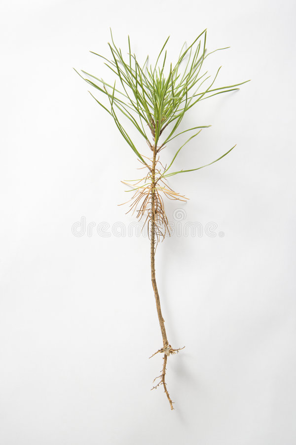 Still-life of sapling. Still-life of dug up sapling in studio against white background royalty free stock photo